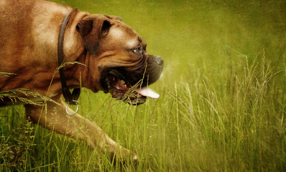 Specialist Pet Photography Dogs French mastiff / Dogue De Bordeaux, Dog Breeds, Dog Photography