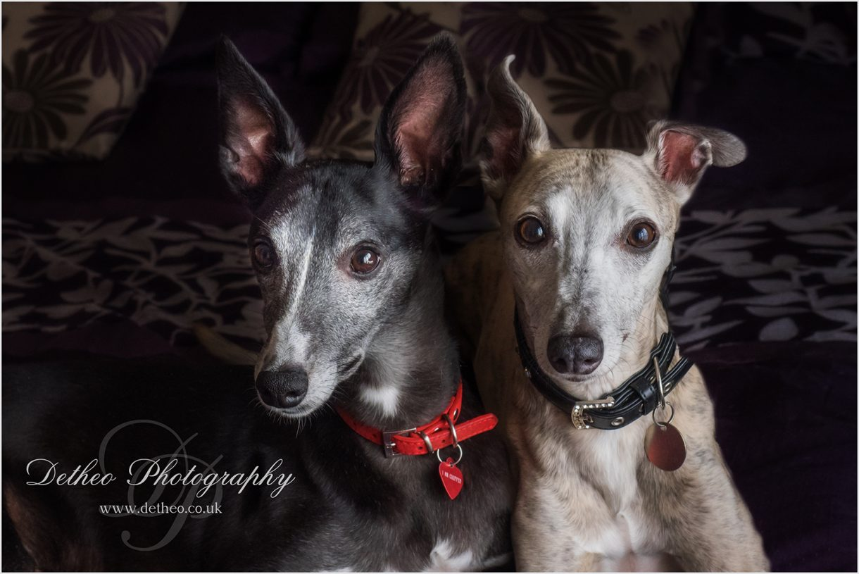 Wood Green Animal Shelters Competition Winners. Whippets, By Detheo Photography, Specialist Pet Photography, Herts, Essex, Cambridgeshire