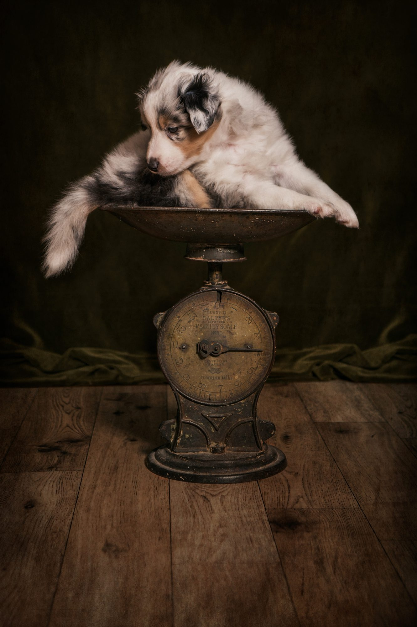 Sheltie_Puppy_Photograph_On_Scales
