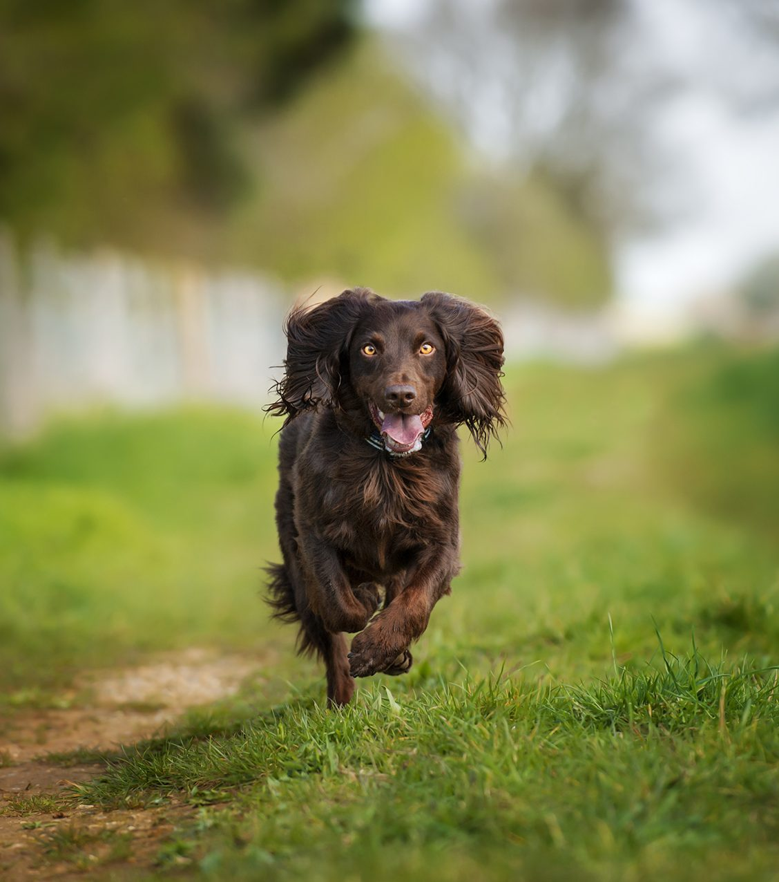 Working_Spaniel_Running_Through_The_Countryside