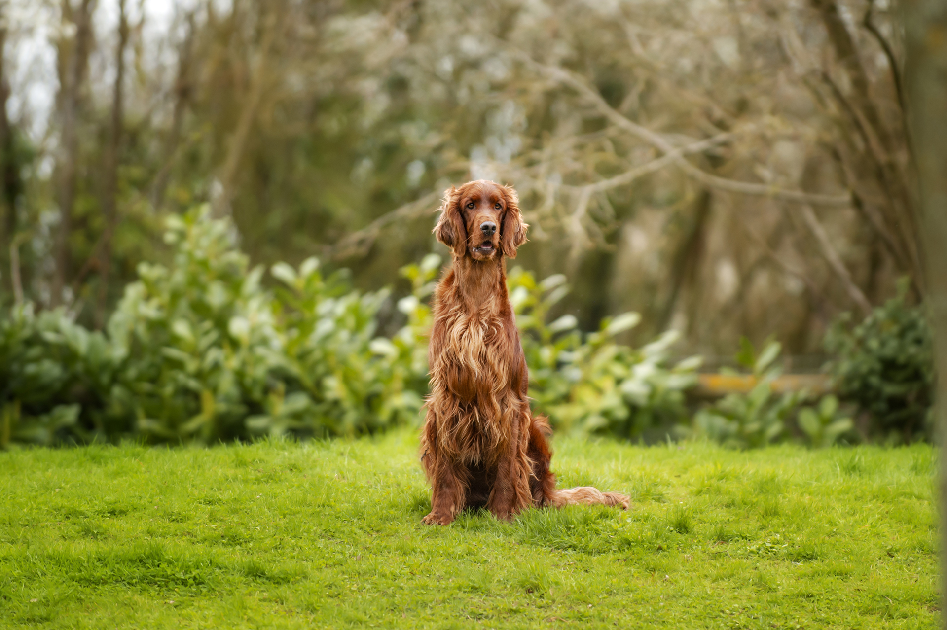 Irish_Setter_Outside