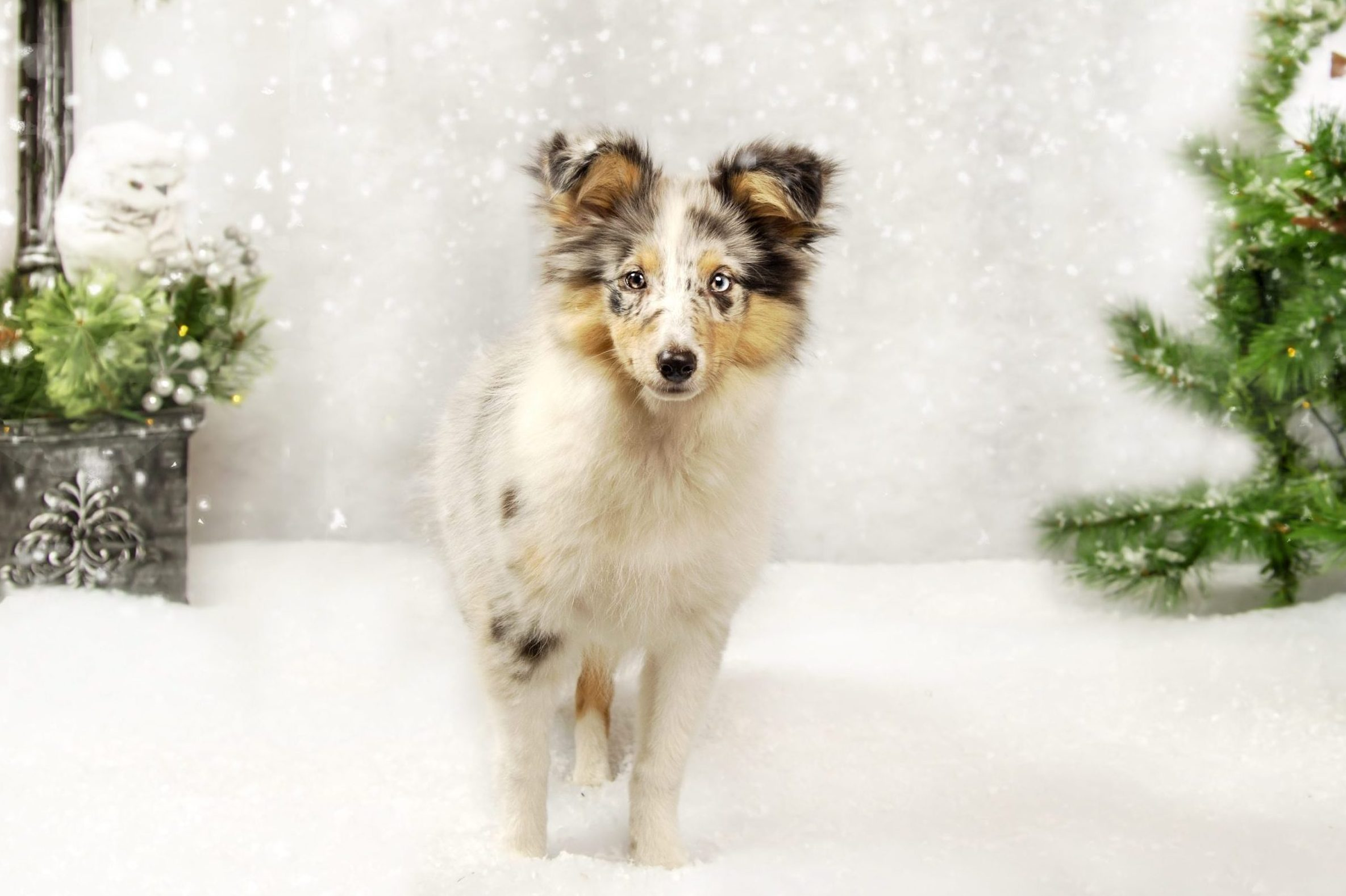 Christmas_Mini_Pet_Photography_Sessions