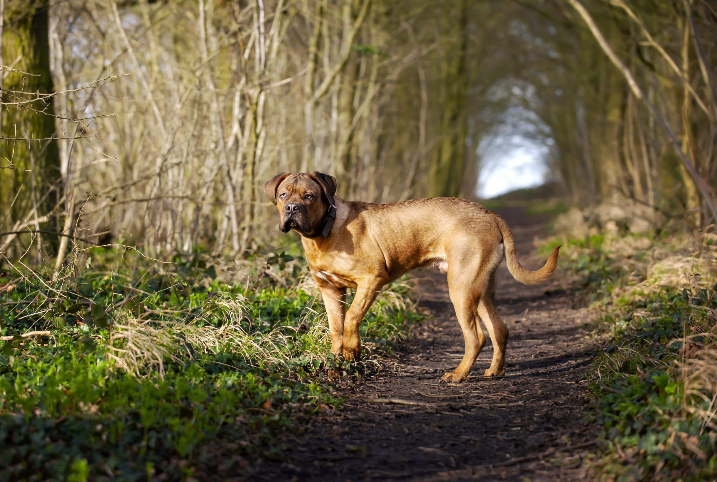 Dogue_De_Bordeaux_7_Months_Old