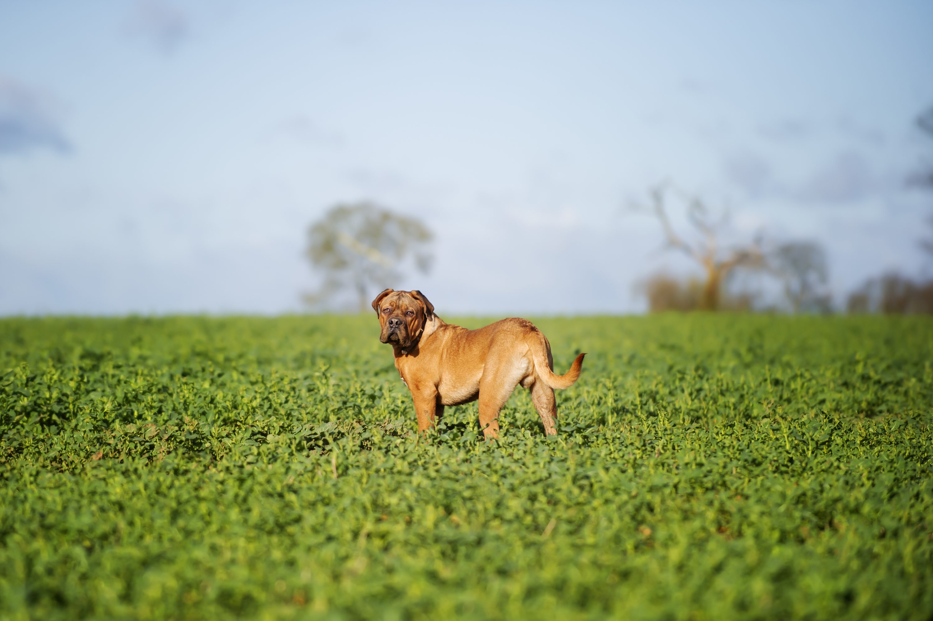 Dogue_De_Bordeaux_Puppy_7_Months